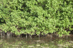 Mangroves in lagoon stock images