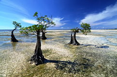 Mangroves During the Low Tide Royalty Free Stock Photos