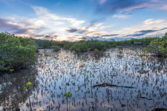 Mangroves at low tide Royalty Free Stock Photography