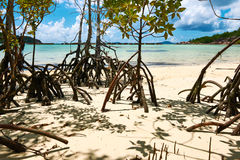 Mangroves at low tide Stock Images