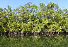 Mangroves. Mangrove trees on an inlet of the River Gambia Stock Image