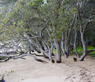 Mangroves Royalty Free Stock Image