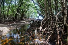 Mangroves, Miami, Florida USA. Sun shines through in sunspots on the wet ground of the mangroves, FL, USA Royalty Free Stock Photo