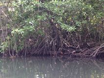 Mangroves. In murky water showing prop roots Stock Photo