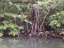 Mangroves. In murky water showing prop roots Stock Images