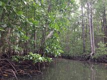 Mangroves. In murky water showing prop roots Stock Image
