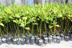 Mangroves nursery Royalty Free Stock Image