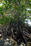 Mangroves by the ocean. Large group of mangroves along the Gulf of Mexico ocean Royalty Free Stock Photo