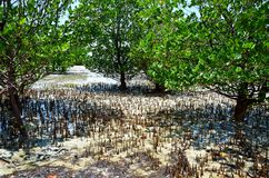 Mangroves och den låga tiden, Zanzibar arkivbild