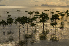 Mangroves plants on the beach in sea water wave during sunset. Royalty Free Stock Images