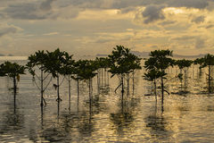 Mangroves plants on the beach in sea water wave during sunset. Stock Photos