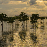 Mangroves plants on the beach in sea water wave during sunset. Island Koh Phangan, Thailand Stock Images