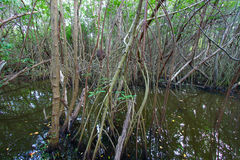 Mangroves of Puerto Rico Royalty Free Stock Photo