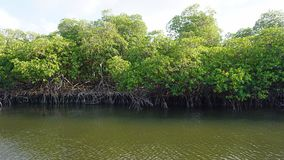 Mangroves at punta rusia. Large mangrove forest near punta rusia in the caribbean sea Stock Image