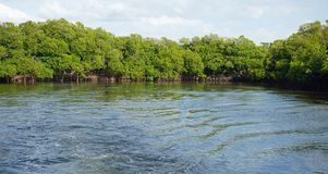 Mangroves at punta rusia. Large mangrove forest near punta rusia in the caribbean sea Stock Photos