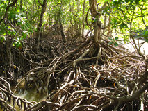 Mangroves, Queensland, Australia stock photos
