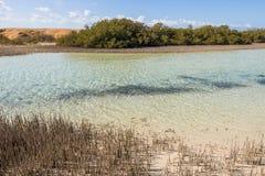 Mangroves in Ras Mohamed National Park Stock Image