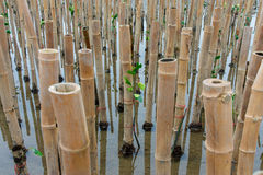 Mangroves reforestation in coast of Thailand Stock Image