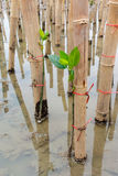 Mangroves reforestation in coast of Thailand Royalty Free Stock Images