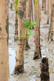 Mangroves reforestation in coast of Thailand Royalty Free Stock Photos
