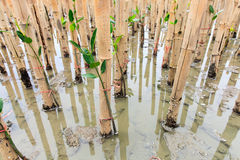 Mangroves reforestation in coast of Thailand Royalty Free Stock Image