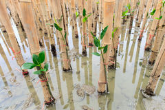 Mangroves reforestation in coast of Thailand Stock Images