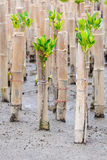 Mangroves reforestation in coast of Thailand Royalty Free Stock Photography