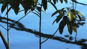 Mangroves roots and their reflections. In the daintree national park of queensland stock video