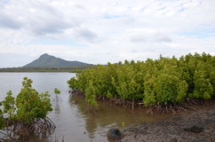 Mangroves 1. Mangroves in the southern part of Mauritius Royalty Free Stock Photo