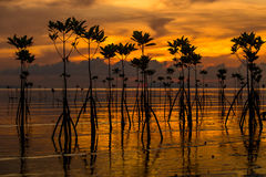 Mangroves during sunset, Thailand Royalty Free Stock Photos