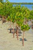 Mangroves on Tampa Bay, Florida. Mangroves at Picnic Island County Park, Tampa Bay, Florida royalty free stock images