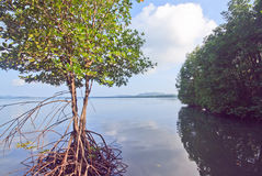 Mangroves tree Royalty Free Stock Photos
