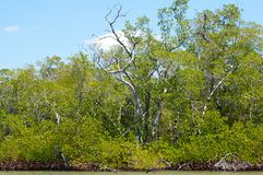 Mangroves and trees on canal Royalty Free Stock Photo