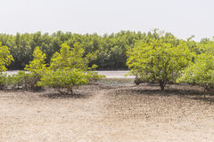Mangroves trees Stock Photo