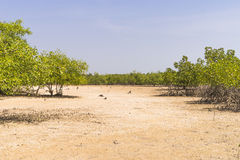 Mangroves trees Royalty Free Stock Photos