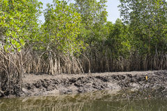 Mangroves trees Stock Photography