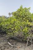 Mangroves trees Royalty Free Stock Photo