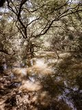 Mangroves trees reflection in water stock image