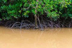 Mangroves trees in water at low tide Royalty Free Stock Image