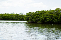 Mangroves. By the water in Florida Stock Photo