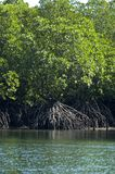 mangroves2 Fotografia Royalty Free