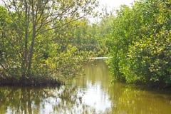 Mangroveskog Arkivfoto