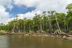 Mangroveskog av den Nakama floden fotografering för bildbyråer