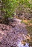 Mangroveskog i Rayong Thailand natursylt i Klaeng arkivbilder