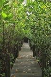 Mangroveskog i Thailand Royaltyfria Bilder