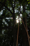 Mangroveskog i Thailand Royaltyfri Fotografi