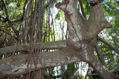 Mangroveskog i Thailand Royaltyfria Foton