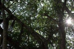 Mangroveskog i Thailand Arkivbilder