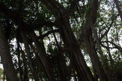 Mangroveskog i Thailand Royaltyfri Bild