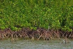 Mangroveskog nära havet Samae San ö, Thailand Arkivbilder